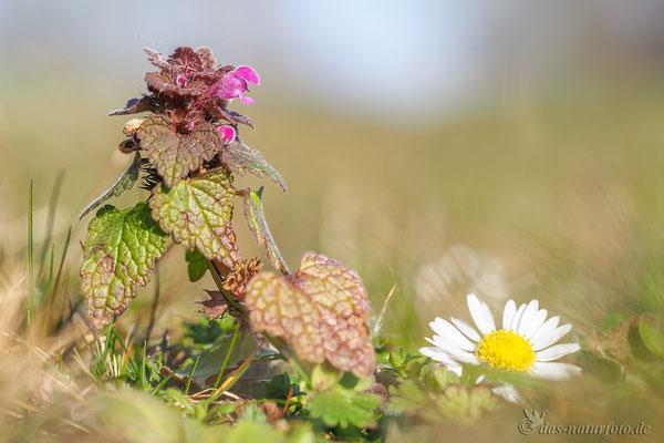 Purpurrote Taubnessel (Lamium purpureum var. purpureum) Bild 001 Foto: Regine Schadach - Olympus OM-D E-M5 Mark II - M.ZUIKO DIGITAL ED 60mm 1:2.8 Macro