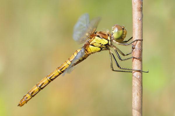 Große Heidelibelle (Sympetrum striolatum) junges Weibchen Bild 006 Foto: Regine Schadach