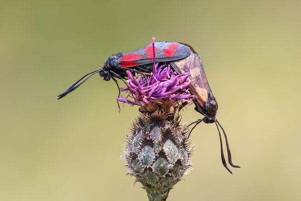 Sechsfleck oder Gemeines Blutströpfchen (Zygaena filipendulae) Bild 003 Foto: Regine Schadach