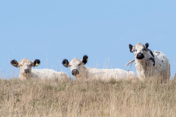 Galloway-Rinder auf dem Flöteberg - Bild 005 - Foto: Regine Schadach - Olympus OM-D E-M5 Mark II - M.ZUIKO DIGITAL ED 12‑100 1:4.0 IS PRO