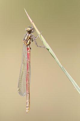 Frühe Adonislibelle (Pyrrhosoma nymphula) - Imago frisch Bild 007 Foto: Regine Schulz