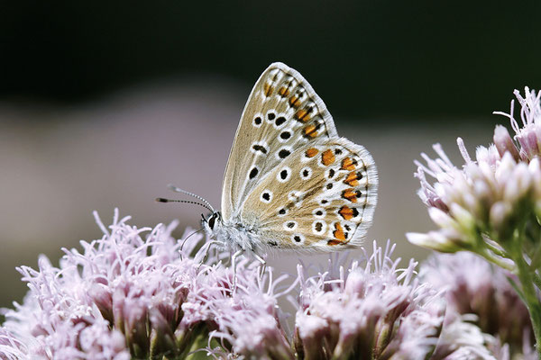 Hauhechel-Bläuling (Polyommatus icarus) - Bild 007 - Foto:Volker Schadach