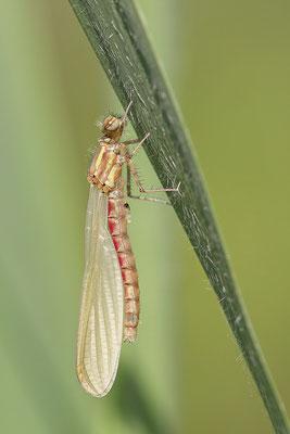 Frühe Adonislibelle (Pyrrhosoma nymphula) - Imago frisch Bild 006 Foto: Regine Schulz