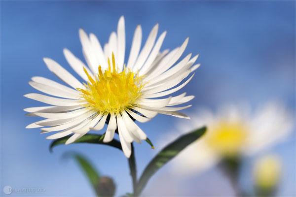 Herbstaster (unbestimmt) (Symphyotrichum indet. ) Bild 001 Foto: Regine Schadach - Olympus OM-D E-M1 Mark II - M.ZUIKO DIGITAL ED 60mm 1:2.8 Macro