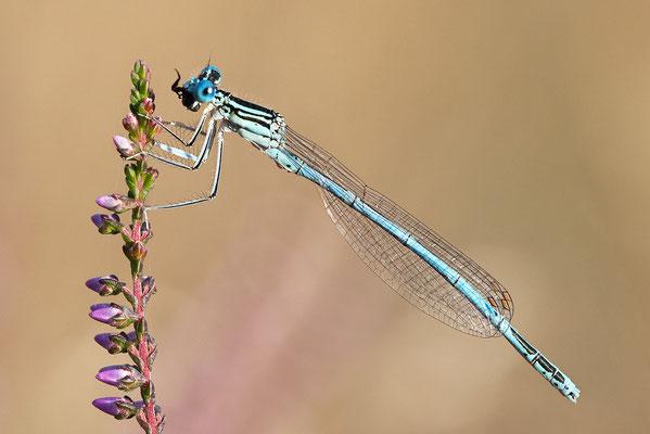 """Gemeine Federlibelle (Platycnemis pennipes) - auch """"Blaue Federlibelle"""" Bild 011 Foto: Regine Schulz"""