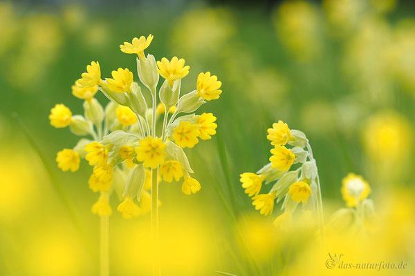 Wiesen-Schlüsselblume (Primula veris) Blume des Jahres 2016 Foto: Regine Schulz - Bild 003 - Olympus OM-D E-M5 Mark II - M.ZUIKO DIGITAL ED 40‑150mm 1:2.8 PRO