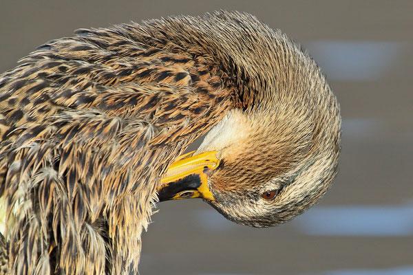 Stockente (Anas platyrhynchos)  - Weibchen Bild 014 Foto: Regine Schulz
