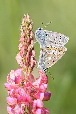 Hauhechel-Bläuling (Polyommatus icarus) Paarung auf Saat-Esparsette Bild 006 Foto: Regine Schadach