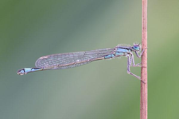 Große Pechlibelle (Ischnura elegans - f. typica) Bild 003 Foto: Regine Schadach