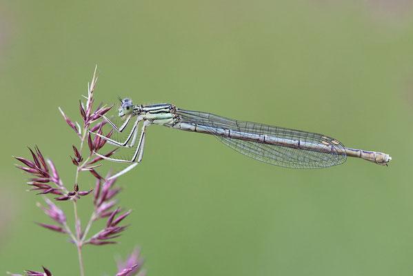 """Gemeine Federlibelle (Platycnemis pennipes) - auch """"Blaue Federlibelle"""" Bild 016 Foto: Regine Schadach"""