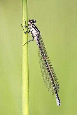 Hufeisen-Azurjungfer (Coenagrion puella) Weibchen - Bild 002 Foto: Regine Schadach