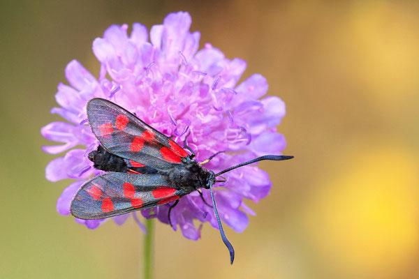 Sechsfleck oder Gemeines Blutströpfchen (Zygaena filipendulae) Bild 006 Foto: Regine Schadach