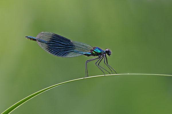 Gebänderte Prachtlibelle (Calopteryx splendens) Männchen Bild 003 Foto: Regine Schadach
