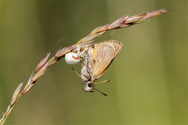 Braunkolbiger Braundickkopffalter (Thymelicus sylvestris) Bild 006 Foto: Regine Schadach - Canon EOS 5D Mark III Sigma 150mm f/2.8 Macro