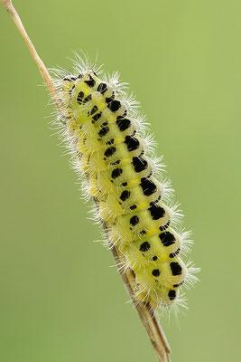 Raupe - Sechsfleck oder Gemeines Blutströpfchen (Zygaena filipendulae) Bild 005 Foto: Regine Schadach