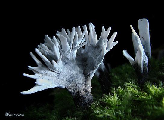 Geweihförmige Holzkeule (Xylaria hypoxylon) Bild 001 Foto: Regine Schadach