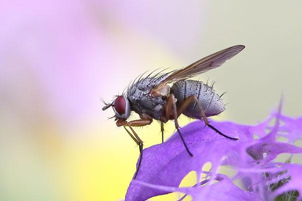 Fliege (unbestimmt) (Brachycera indet.) Bild 001 Foto: Regine Schadach
