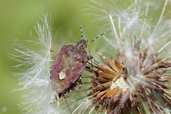 Beerenwanze (Dolycoris baccarum) Bild 001 - Foto: Regine Schadach -  OM-D E-M1 Mark II - ED 60mm 1:2.8 Macro