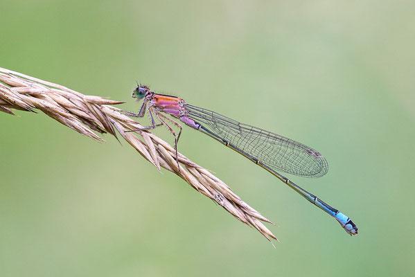 Große Pechlibelle (Ischnura elegans f. rufescens) Bild 005 Foto: Regine Schadach