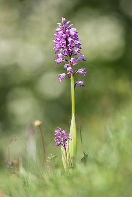 Helm-Knabenkraut (Orchis militaris) - Bild 001 - Foto: Regine Schulz