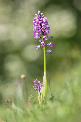 Helm-Knabenkraut (Orchis militaris) - Bild 001 - Foto: Regine Schadach