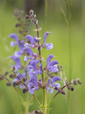 Wiesen-Salbei (Salvia pratensis) Bild 002 - Foto: Regine Schadach - OM-D E-M5 Mark II - ED 12‑100 1:4.0 IS PRO