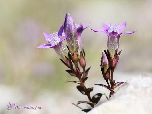 Deutscher Enzian (Gentianella germanica) Bild 002 Foto: Regine Schadach