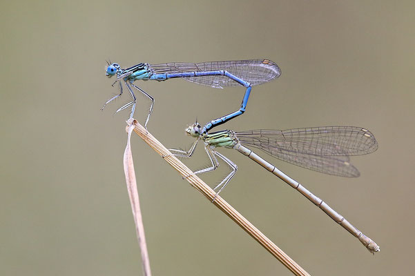"""Gemeine Federlibelle (Platycnemis pennipes) - auch """"Blaue Federlibelle"""" Tandem Bild 009 Foto: Regine Schadach"""