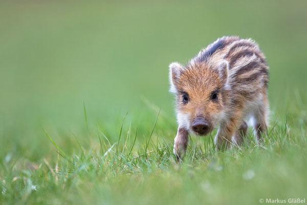 Wildschwein (Sus scrofa) - Frischling - Bild 333 Foto: Markus Gläßel