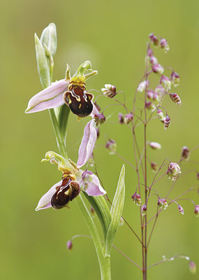 Bienen-Ragwurz (Ophrys apifera) - Bild 002 - Foto: Regine Schulz