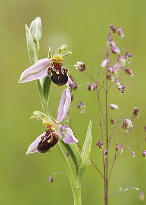 Bienen-Ragwurz (Ophrys apifera) - Bild 002 - Foto: Regine Schadach