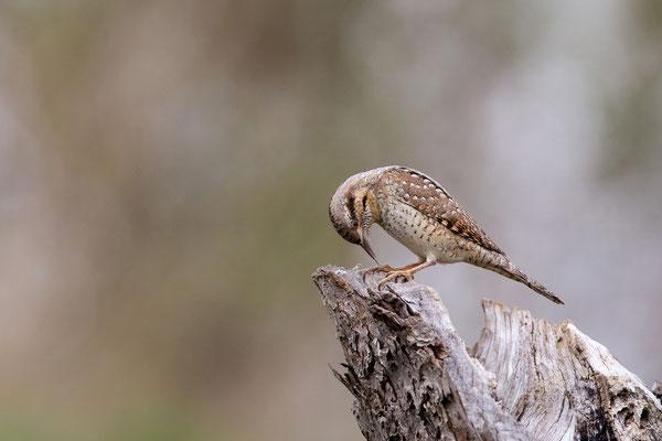 Der Wendehals kann mit seiner langen Zunge die Ameisen fangen. - Foto: Petra Engler