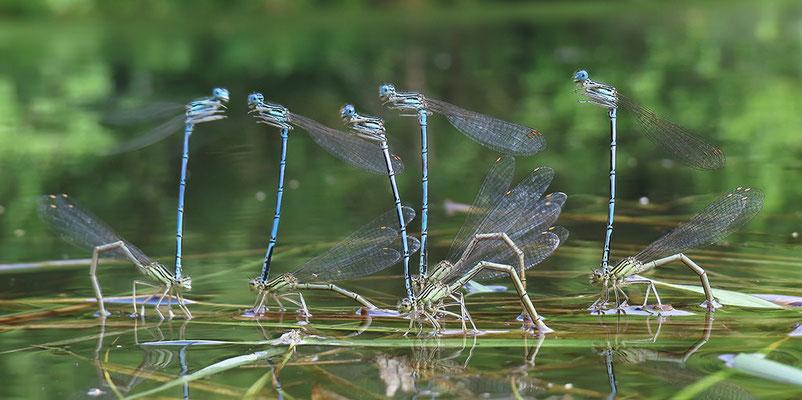 """Gemeine Federlibelle (Platycnemis pennipes) - Eiablage - auch """"Blaue Federlibelle"""" Bild 001 Foto: Regine Schadach"""
