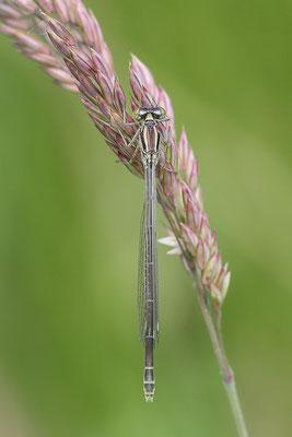 Hufeisen-Azurjungfer (Coenagrion puella) Weibchen - Bild 005 Foto: Regine Schadach