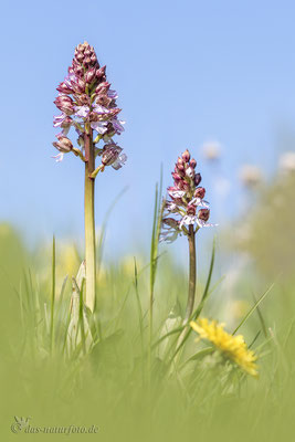 Purpur-Knabenkraut (Orchis purpurea)  Bild 010 Foto: Regine Schadach - Olympus OM-D E-M5 Mark II - M.ZUIKO DIGITAL ED 40‑150mm 1:2.8 PRO