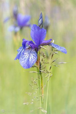 Sibirische Schwertlilie (Iris sibirica) Bild 008 Foto: Regine Schadach - Olympus OM-D E-M1 Mark II -  M.ZUIKO DIGITAL ED 60mm 1:2.8 Macro