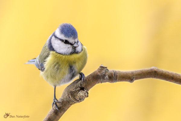 Blaumeise (Cyanistes caeruleus) - Bild 010 - Foto: Regine Schadach