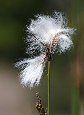 Schmalblättriges Wollgras (Eriophorum angustifolium) - Bild 003 - Foto: Regine Schadach