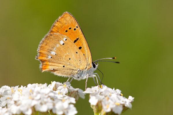 Dukatenfalter (Lycaena virgaureae) - Bild 003 - Foto: Regine Schadach