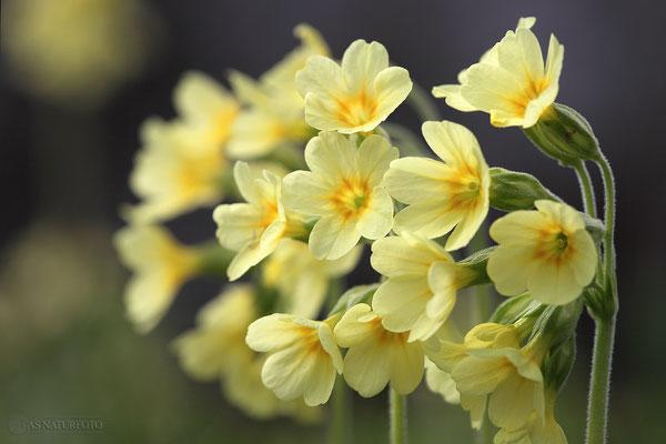 Hohe Schlüsselblume (Primula elatior) Bild 000 Foto: Regine Schadach