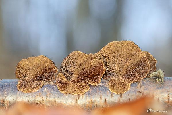 Dreifarbige Tramete (Daedaleopsis confragosa var. tricolor) Bild 003 Foto: Regine Schadach