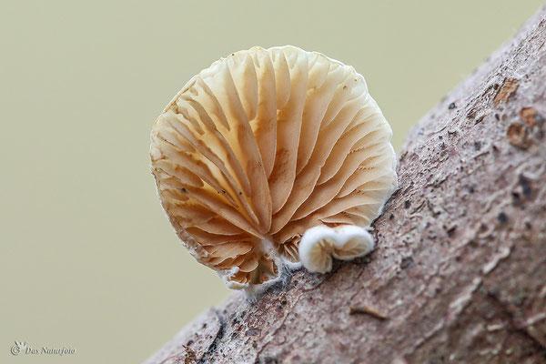 Stummelfüßchen (unbestimmt) (Crepidotus indet.) Bild 001 Foto: Regine Schadach
