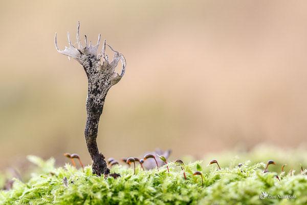 Geweihförmige Holzkeule (Xylaria hypoxylon) Bild 003 Foto: Regine Schadach