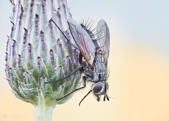 Rotgefleckte Raupenfliege (Eriothrix rufomaculatus) Bild 002 - Foto: Regine Schadach - Olympus OM-D E-M1 Mark I I - M.ZUIKO DIGITAL ED 60mm 1:2.8 Macro