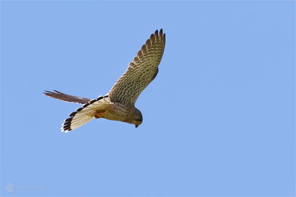 Turmfalke (Falco tinnunculus) Bild 004 Foto: Regine Schulz Canon EOS 7D Mark II Canon EF 400mm f/5.6 L USM