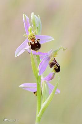 Bienen-Ragwurz (Ophrys apifera) - Bild 005 - Foto: Regine Schadach
