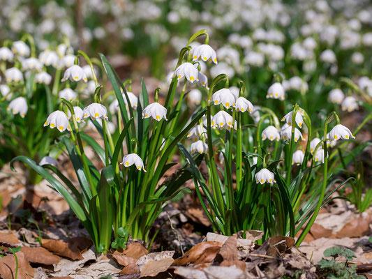 Frühlings-Knotenblume (Leucojum vernum) oder auch Märzenbecher genannt - Bild 002 - Foto: Regine SSchadach