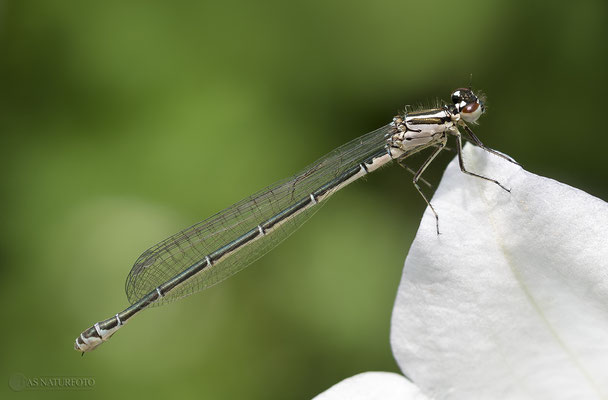 Hufeisen-Azurjungfer (Coenagrion puella) Weibchen - Bild 008 - Foto: Regine Schadach- Olympus OM-D E-M1 Mark I I - M.ZUIKO DIGITAL ED 60mm 1:2.8 Macro