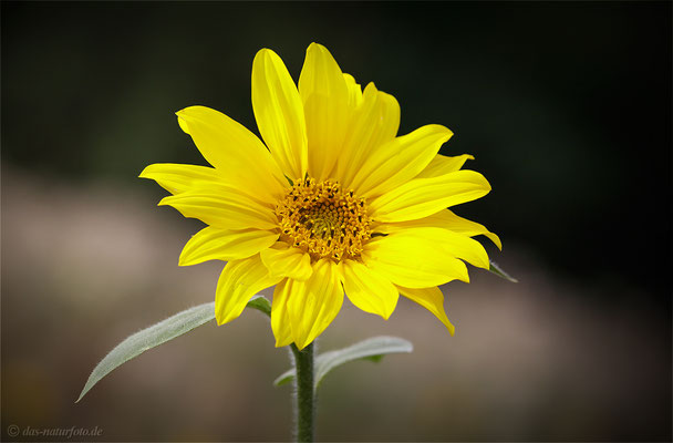Gewöhnliche Sonnenblume (Helianthus annuus) Bild 001 Foto: Regine Schadach - Canon EOS 5D Mark II Sigma 150mm f/2.8 Macro
