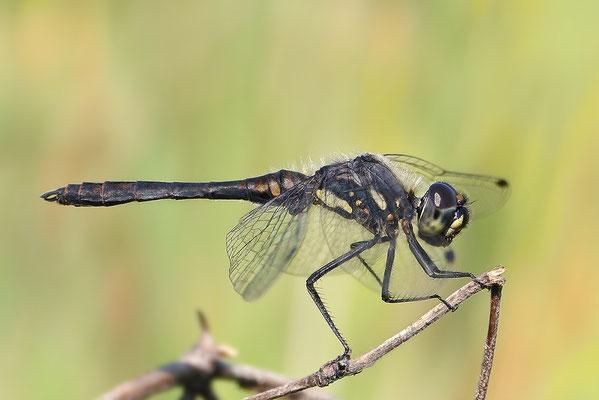 Schwarze Heidelibelle (Sympetrum danae) - Männchen Bild 006 - Foto: Regine Schadach